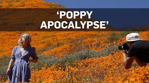 poppy apocalypse.jpg